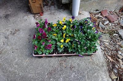 パンジーを用意しました 稲武地区で取り組んでいる花いっぱい運動で栽培した花を分けてもらいました